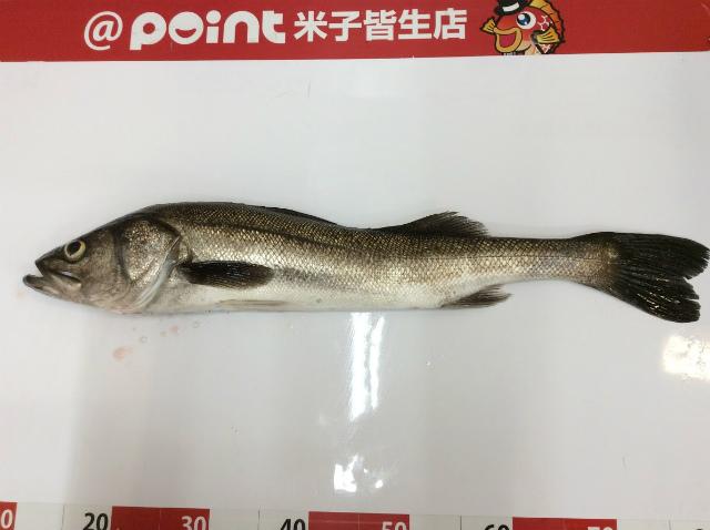 Point seabass 20190816 01
